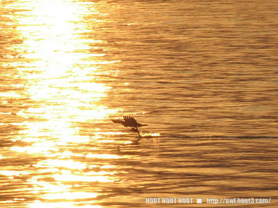 夕陽とミサゴ