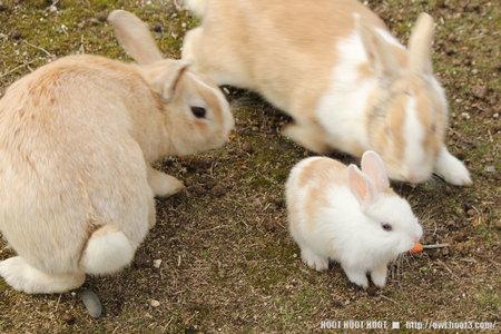 子ウサギと大人ウサギ